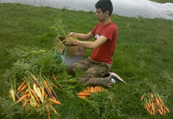 green_carrot_picking2