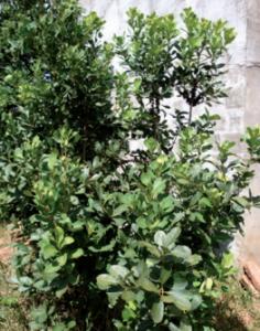 yeba-mate-plant