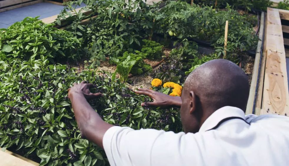 Refugee's rooftop garden helps feed Kings Cross homeless